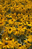 Black-eyed susan Royalty Free Stock Images