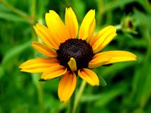Black-Eyed Susan -3 Stock Photography