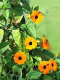 Black Eyed Susan Stock Photography