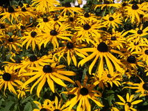 Black-eyed Susan. In a garden stock images