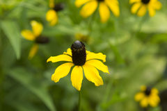 Black Eyed Susan amongst the greenery Royalty Free Stock Photo