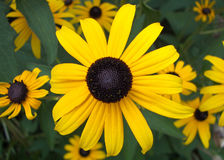 Black-eyed Susan Stock Image