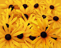 Black Eyed Susan Background Stock Photo