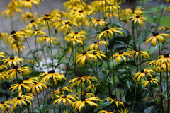 Black Eyed Susan background Royalty Free Stock Images