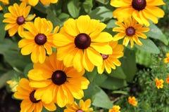 Black Eyed Susan. Beautiful Black Eyed Susan flowers stock image