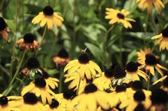 Black-eyed Susan and the Bee. Insect pollinates on black-eyed Susan, state flower of Maryland Royalty Free Stock Photos