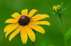 Black Eyed Susan and bee. A Black Eyed Susan with bee with new growth in background Stock Photo
