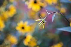 Black-Eyed Susan beginning to bloom Stock Photo
