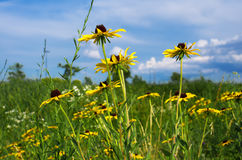 Black eyed susan, black-eyed-susan also rudbeckia hirta Stock Photography