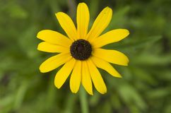 Black eyed Susan/Ox-eye daisy. Black eyed Susan/, Brown Betty or Ox-eye daisy royalty free stock photos