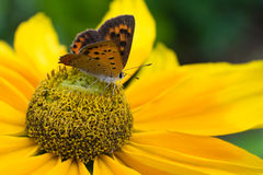 Black Eyed Susan with Butterfly Stock Photography