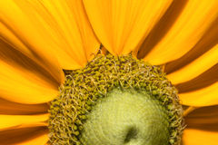 Black eyed susan close up. Stock Photography