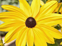 Black-eyed Susan. Royalty Free Stock Images