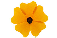 Black eyed susan closeup Royalty Free Stock Images