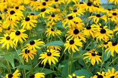 Black eyed susan daisy. Field of black eyed Susan daisys Stock Image