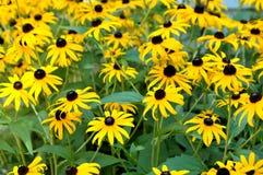 Black eyed susan daisy. Field of black eyed Susan daisys stock image