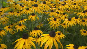 Black Eyed Susan dolly shot. stock video footage