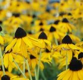 Black-Eyed Susan field royalty free stock photos