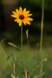 Black-Eyed Susan in a Field Stock Image
