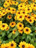 Black Eyed Susan flower display Royalty Free Stock Images