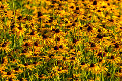 Black-Eyed-Susan flower. Images taken of an early summer field of the wild Black-Eyed-Susan flowers found in Downingtown, Cheser County PA royalty free stock photos