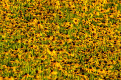 Black-Eyed-Susan flower. Images taken of an early summer field of the wild Black-Eyed-Susan flowers found in Downingtown, Cheser County PA royalty free stock photography