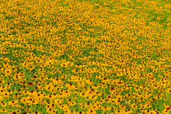 Black-Eyed-Susan flower. Images taken of an early summer field of the wild Black-Eyed-Susan flowers found in Downingtown, Cheser County PA royalty free stock image