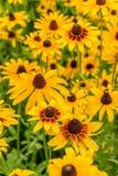 Black-Eyed-Susan flower Stock Images