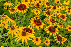 Black-Eyed-Susan flower Royalty Free Stock Photography