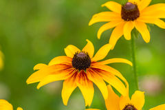 Black-Eyed-Susan flower. Images taken of an early summer field of the wild Black-Eyed-Susan flowers found in Downingtown, Cheser County PA royalty free stock images