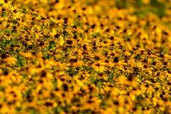 Black-Eyed-Susan flower Royalty Free Stock Image