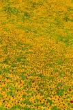 Black-Eyed-Susan flower Royalty Free Stock Images