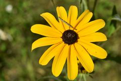 Black Eyed Susan Flower with an Inch Worm on It`s Petal stock photo