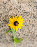 Black-eyed Susan flower Stock Photography