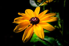 Black-Eyed Susan Flower Rudbeckia Hirta Royalty Free Stock Photography