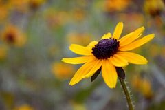 Black-eyed Susan flower bokeh background stock photos