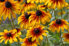 Black-eyed Susan flower Stock Photography
