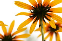 Black-eyed Susan Flowers Stock Image