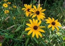 Black Eyed Susan Flowers Along Trail Royalty Free Stock Image