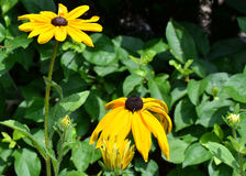 Black Eyed Susan Flowers Stock Photos
