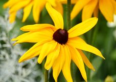 Black eyed Susan flowers growing in a garden Royalty Free Stock Image