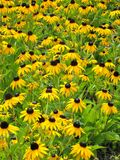 Black eyed Susan flowers growing in a garden Stock Images