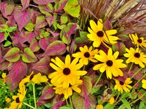 Black eyed Susan flowers growing in a garden Royalty Free Stock Photos