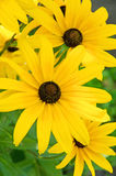Black-Eyed Susan flowers. Radiant yellow flowers reminiscent of sunflowers Royalty Free Stock Photo