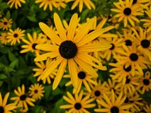 Black Eyed Susan flowers royalty free stock image