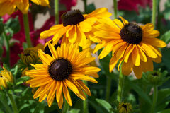 Black-eyed Susan flowers. A trio of bright yellow flowers in a garden Stock Images