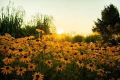 Black-eyed Susan Sunrise royalty free stock photo
