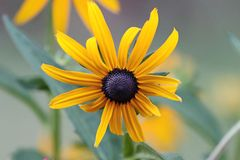 Black Eyed Susan in full bloom stock photos