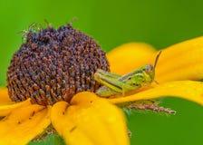 Black Eyed Susan With Grasshopper stock image