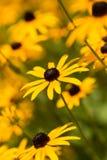 Black Eyed Susan Group. A shallow depth of field shot of a field of black-eyed susans. focus on middle flower Stock Photos
